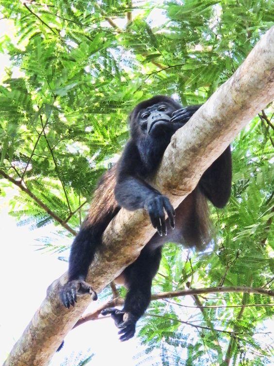 Brüllaffen Costa Rica