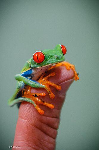 Frosch aus Costa Rica
