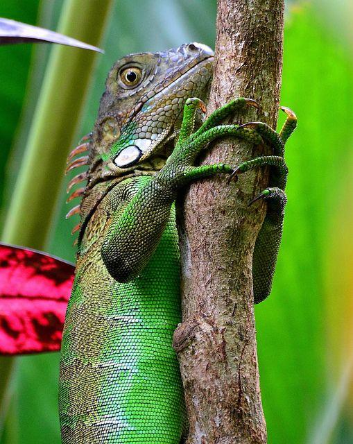 Iguana Echse Costa Rica