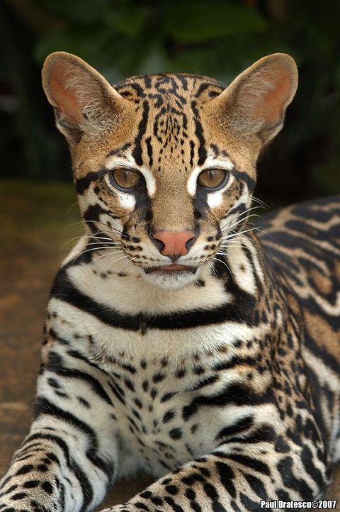 Junger Jaguar Costa Rica