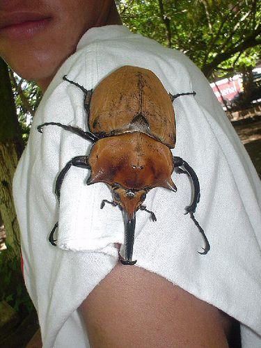Käfer Costa Rica