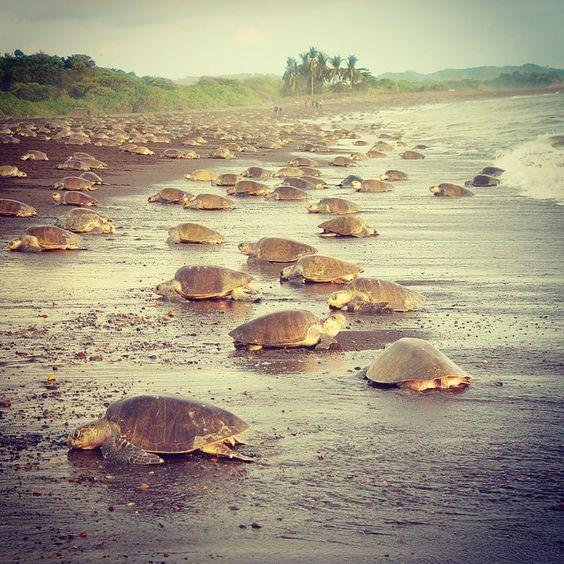 Schildkröten in Costa Rica