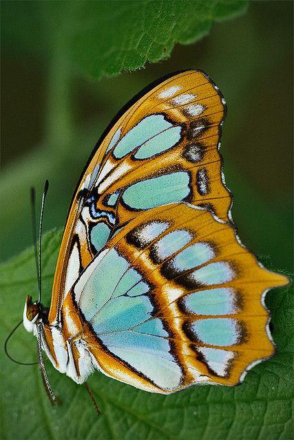 Schmetterlinge Costa Rica