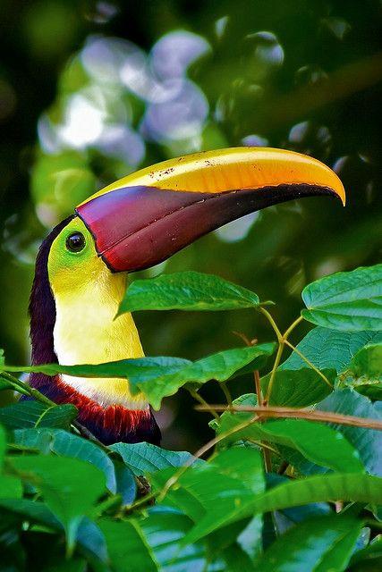 Tukan Vogel Costa Rica
