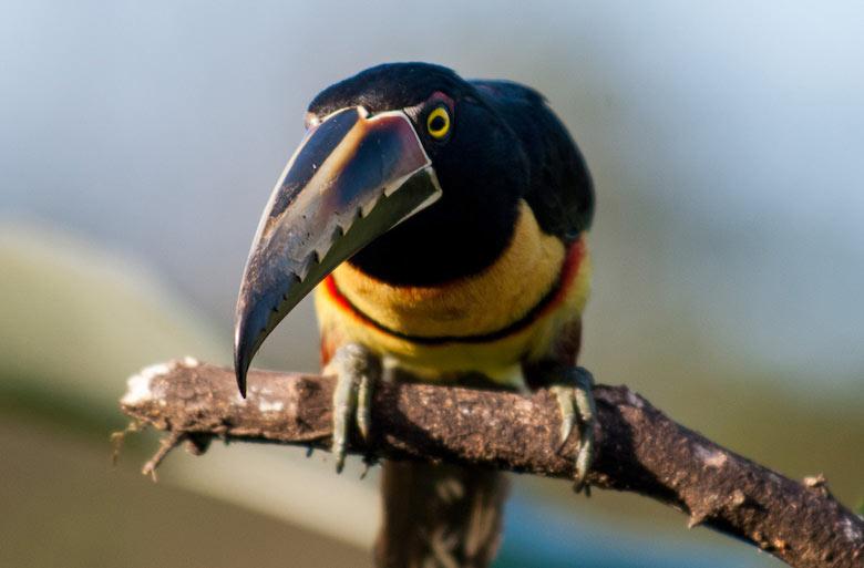 Vogel Regenzeit Costa Rica