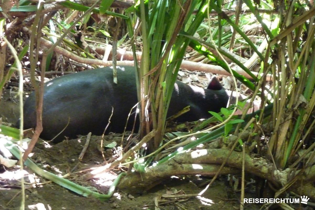 Tapir im Corcovado Nationalpark | Foto: Reisereichtum