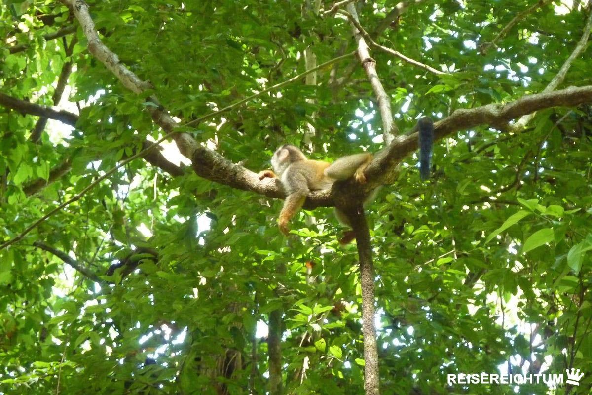 Totenkopfäffchen im Manuel Antonio Nationalpark | Foto: Reisereichtum