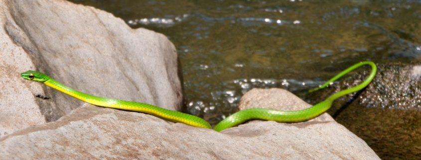 Welche Schlangen gibt es in Costa Rica