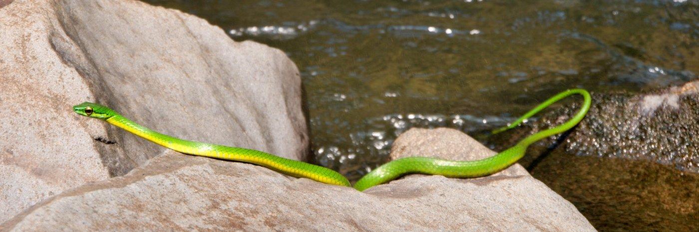 Schlangen in Costa Rica (+ Schlangenbiss Statistik)