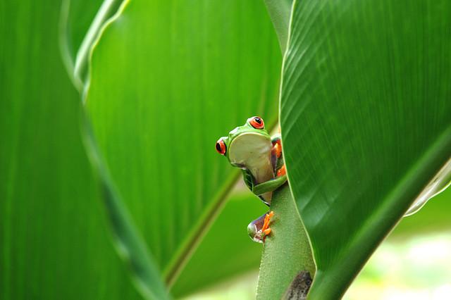 Frosch in Tortuguero