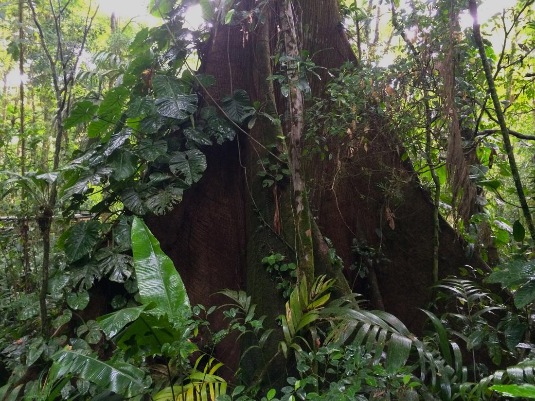 Die Wurzeln einer Ceiba | Foto: Marc Tschallener