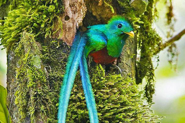 """Quetzal, der """"Göttervogel"""" - Foto: Quapan"""