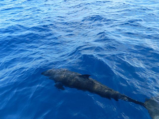Delphin im Bahia Ballena Nationalpark   Foto: John R. Hutchinson Jr.