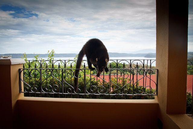 Frecher Nasenbär in Costa Rica