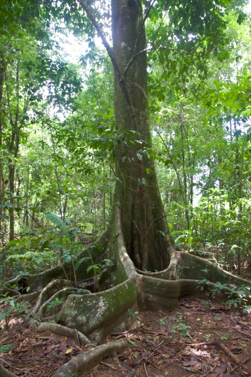 Corcovado Nationalpark, Flora