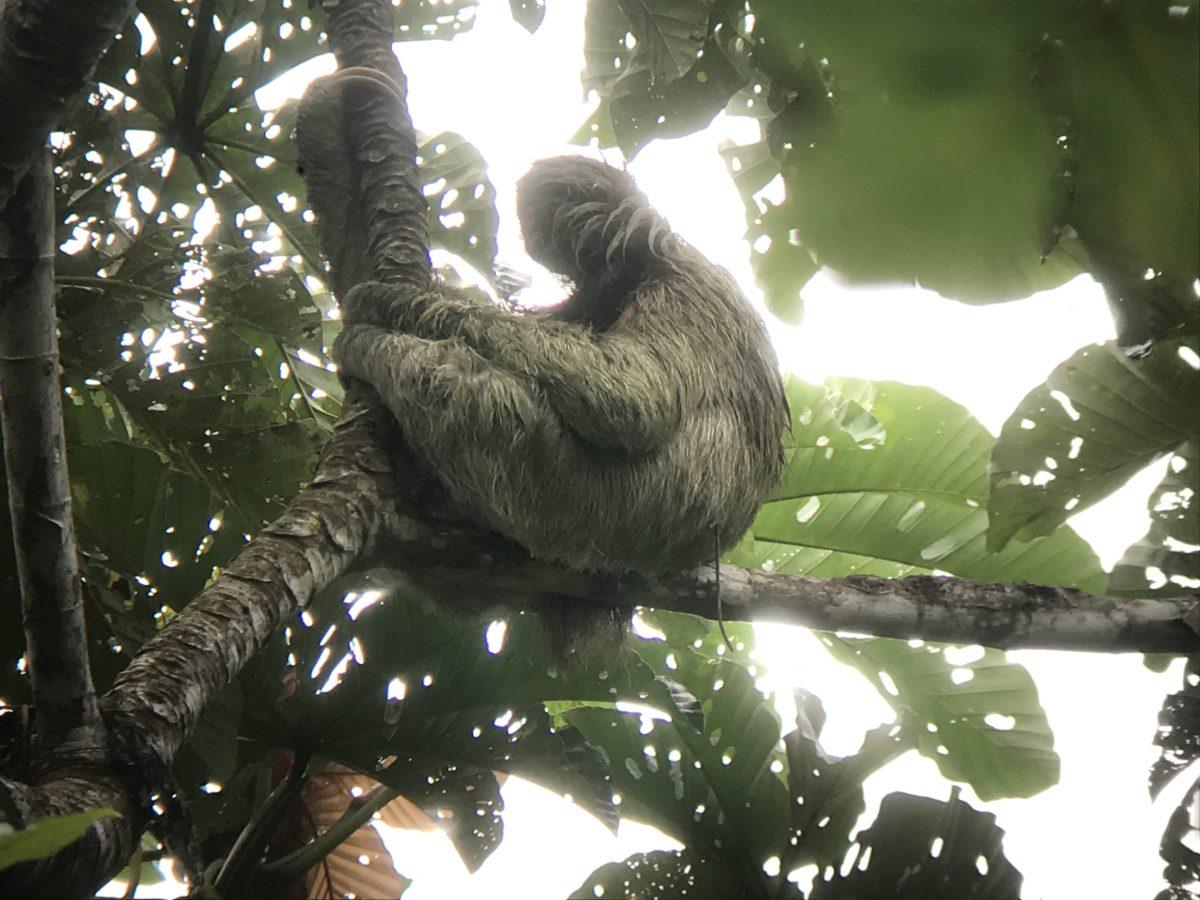 Corcovado Nationalpark, Faultier durch Fernrohr