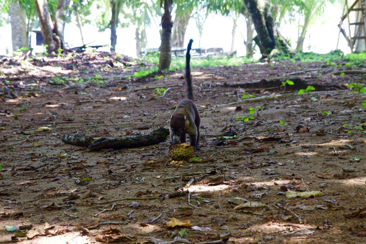 Corcovado Nationalpark, Nasenbär