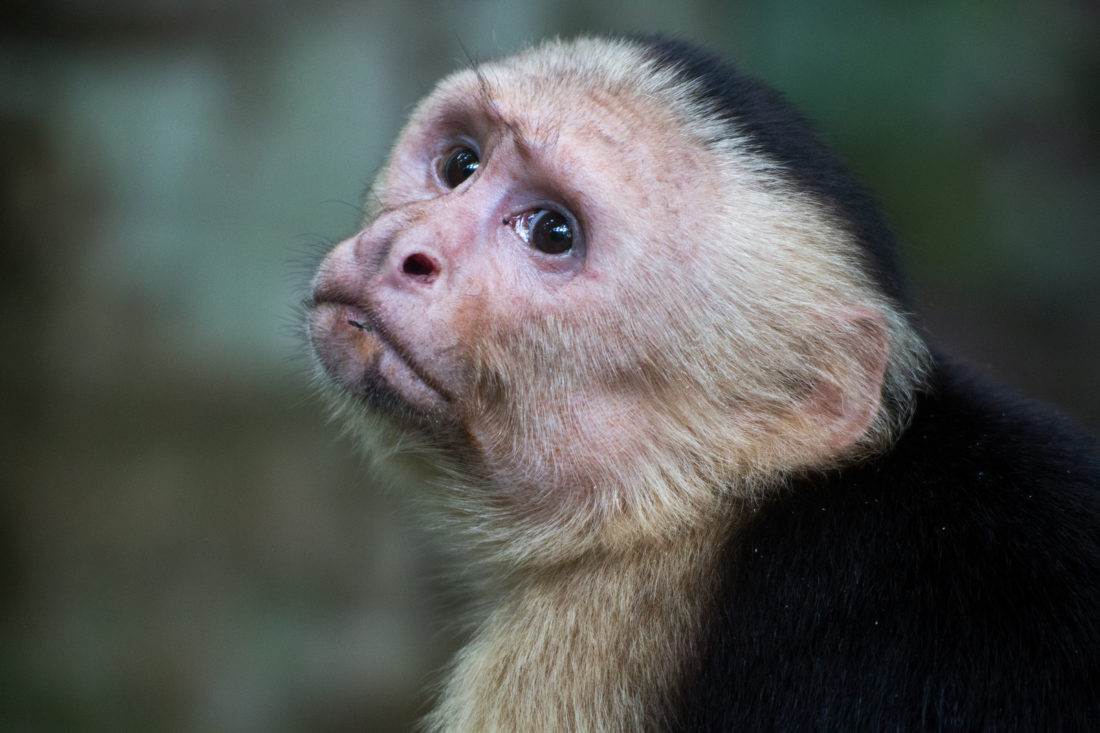 Kapuziner-Affe, Manuel Antonio Nationalpark