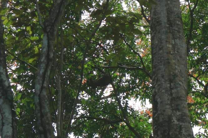 Faultier in den Bäumen hängend, Costa Rica's Südkaribik