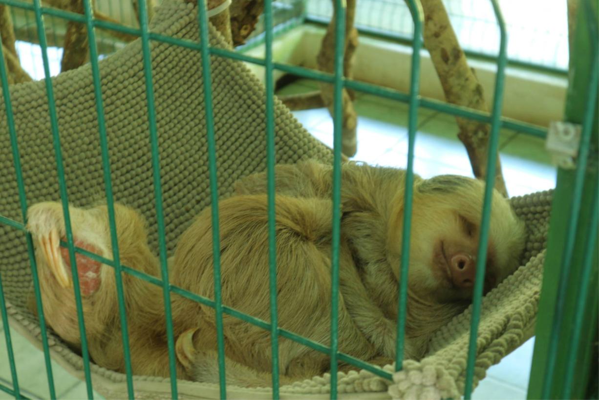 Babyfaultier, Karibik Süd Costa Rica