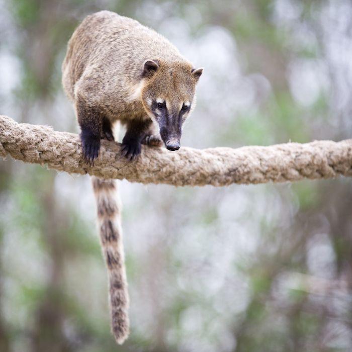 Coati oder Nasenbär in Costa Rica