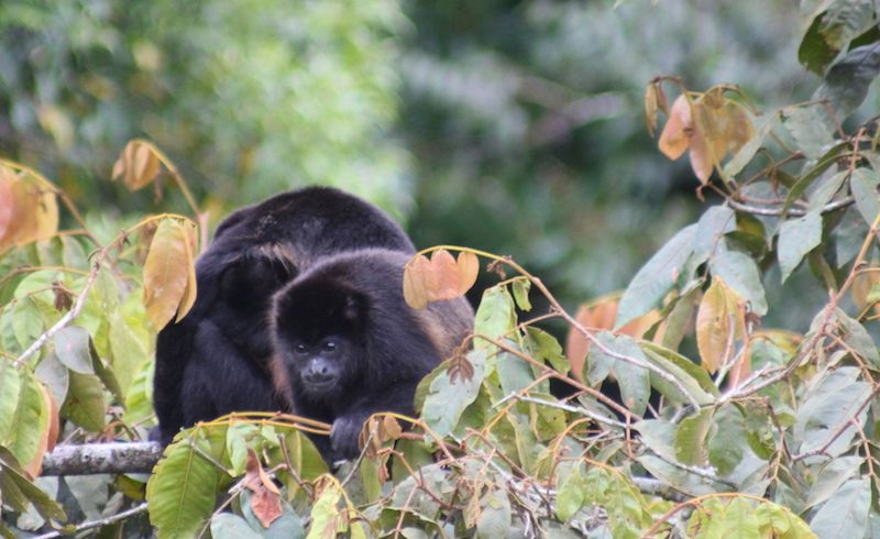 Affen in Monteverde