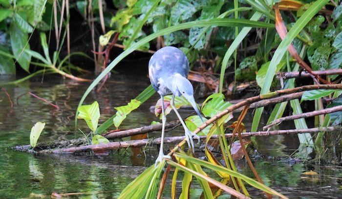Vogel auf der Halbinsel Osa in Costa Rica